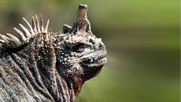 An iguana with a lizard on the brim of its head at the Galapagos Islands.