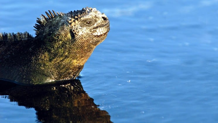 A close-up shot of a marine iguana swimming in the ocean at the Galapagos Islands