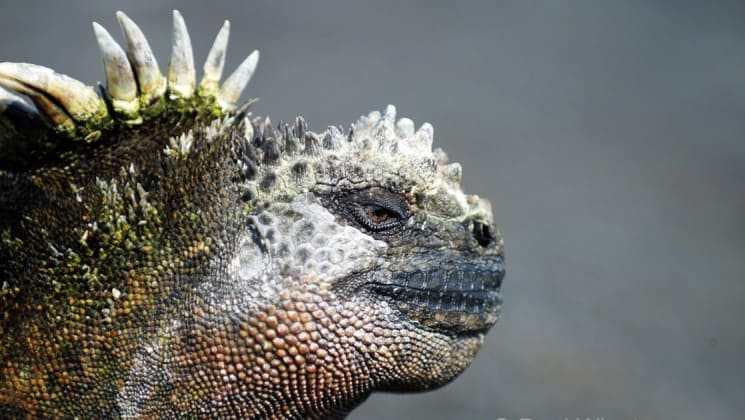 A close-up photo of a marine iguana, only found on the Galapagos Islands, with spines on its back, slitted eyes, and a blunt nose.