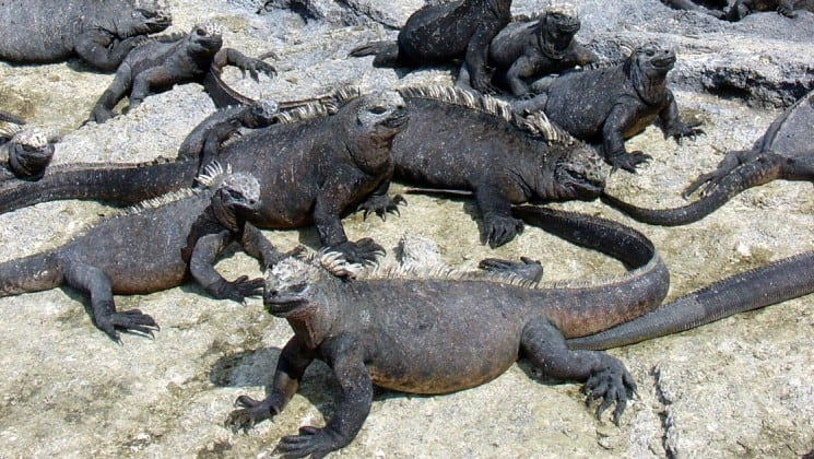 a group of marine iguanas in the sand at the Galapagos islands