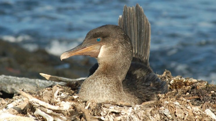 A bird nesting on a rocky bluff above the ocean looks to the left, revealing a deep blue eye, while its rear feathers point straight toward the sky.