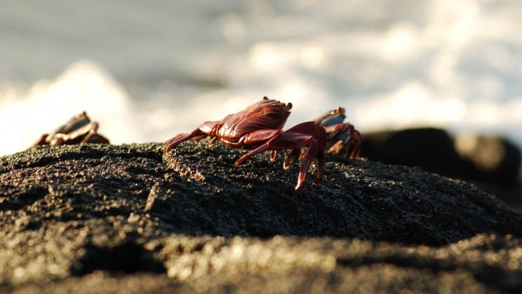 Red crabs scuttle across rocks while waves crash in the distance on the Galapagos Islands