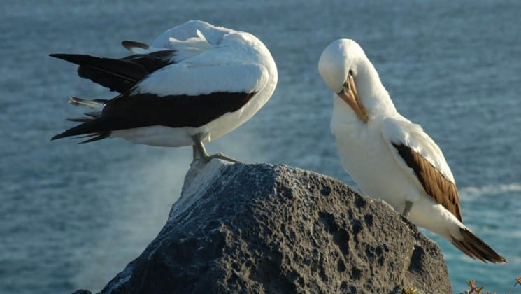 Two birds with white and black feathers stand on a rock perched above the ocean at the Galapagos Islands