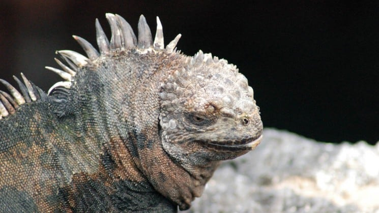 A marine iguana side-eyes the photo, to show the spines on the crest of its back and the details of its leathery skin, at the Galapagos Islands