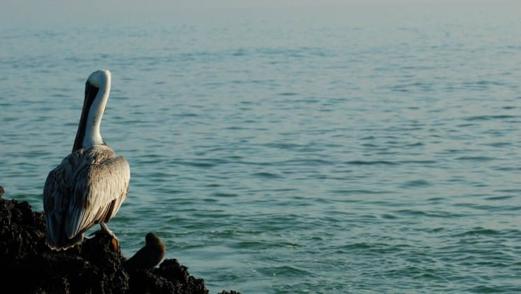 A pelican stands on a rocky bluff overlooking the vast, wide ocean from the Galapagos Islands