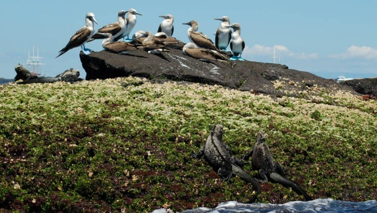 Two iguanas crawl from the sea onto the grass, toward a rock where a flock of birds stand, on the Galapagos Islands