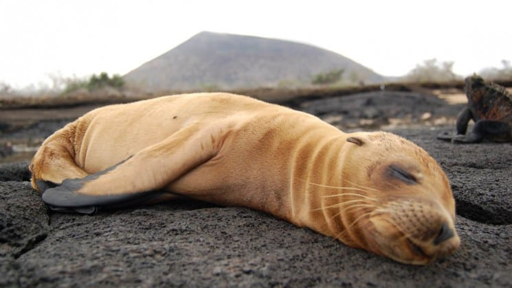 A white sea lion pup sleeps on a rocky surface under a grey sky at the Galapagos Islands