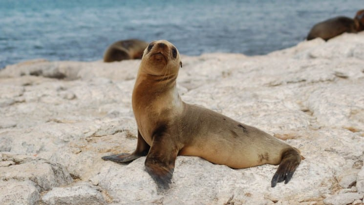 A small sea lion lifts its chest and raises its head while scooting across a rocky bluff on the sea's edge in the Galapagos Islands