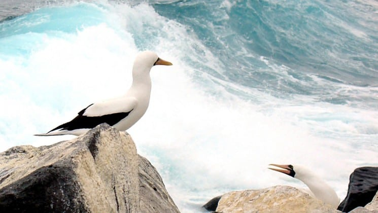 masked boobies sit on rocks while waves crash in the background at the Galapagos islands