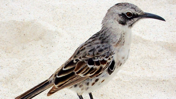 A brown and white mockingbird with a black beak at the Galapagos Islands