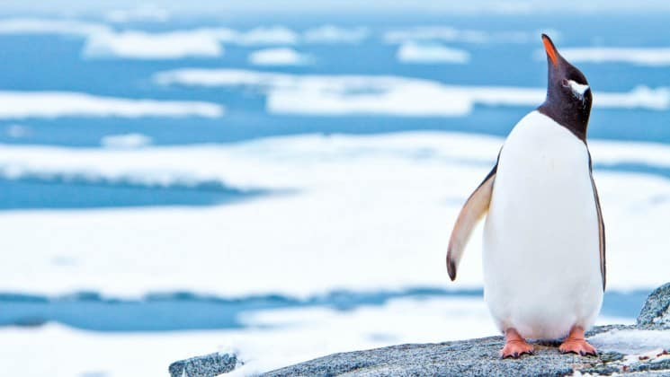 A penguin lifts its head and beak toward the sky while it stands in front of the ocean and icebergs