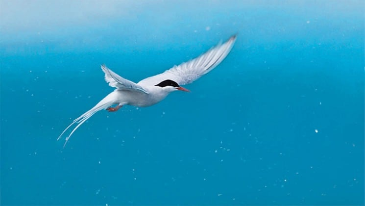 A bird spreads its wings against a blue background, on the national geographic voyage to the northeast passage