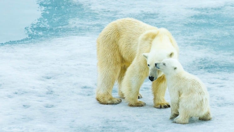 a polar bear and her cub nuzzle each other on the ice in the arctic
