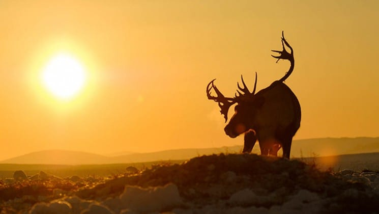 a reindeer with fully mature antlers is silhouetted against an orange sky and sunset in the arctic circle