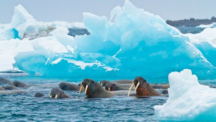 a group of walruses swim in the ocean next to a frozen blue iceberg in the arctic, as seen on the national geographic voyage to the northeast passage