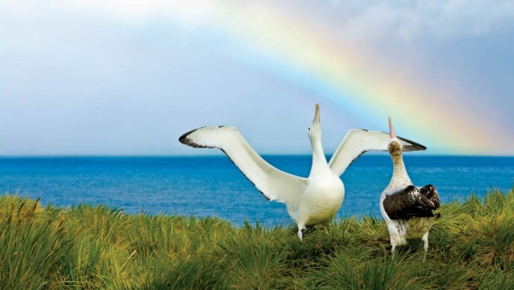 Two albatross birds stand on a grassy bluff overlooking the ocean with a rainbow in south georgia and the falklands on a national geographic expeditioni