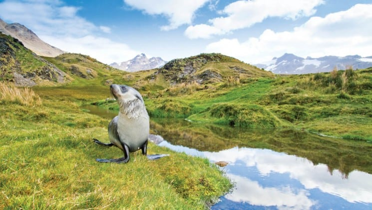 A fur seal meanders on a grassy field with mountains reflecting in a lake in the background in south georgia and the falklands on a national geographic expeditioni