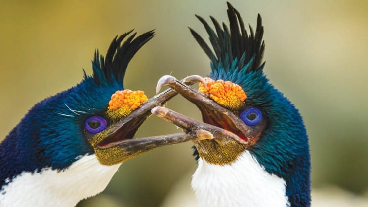 A close-up photo of blue eyed shags, a bird in south georgia and the falklands, as seen on the national geographic expedition