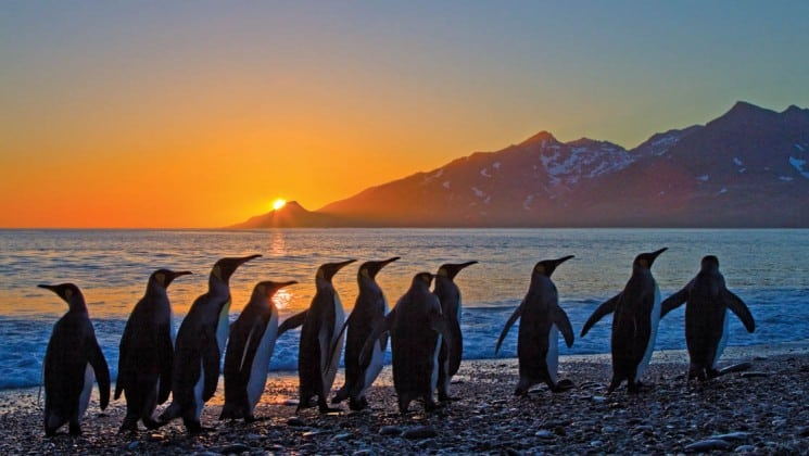 penguins march on a beach while the sun sets on the ocean horizon in south georgia and the falklands