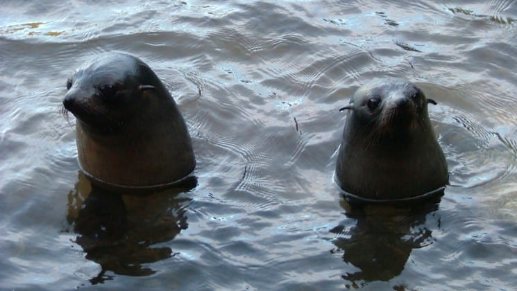 two seals stick their heads up in the water, as seen from the affinity small ship cruise in new zealand's fiordland