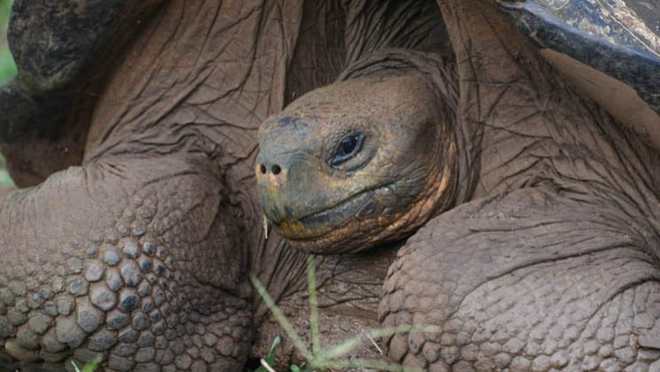 a close up portrait of a giant tortoise, extending his head from beneath his heavy shell at the galapagos islands