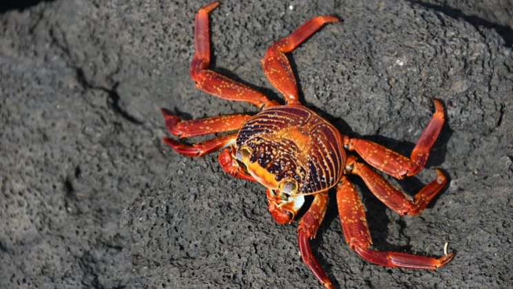 a sally lightfoot crab skimpers across lava rocks at the galapagos islands