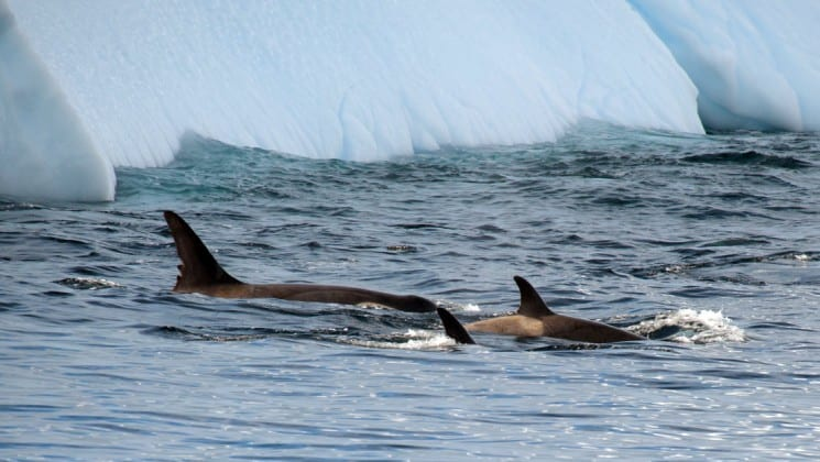 Orcas swim in the ocean, revealing their fins just above the water's surface