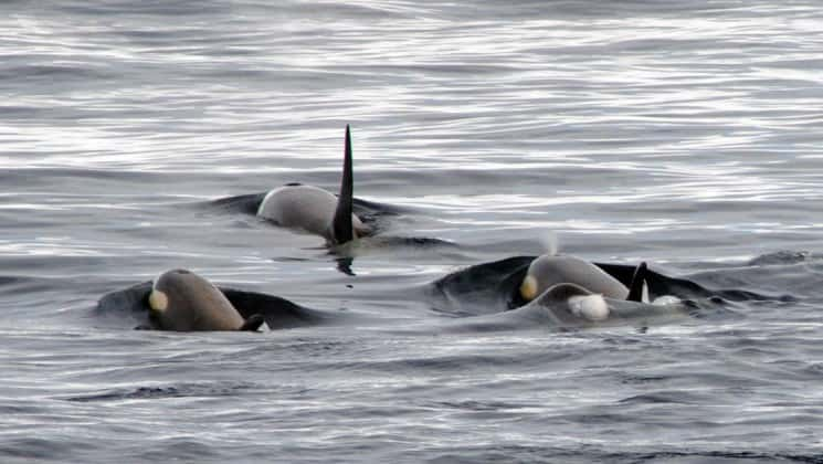 Three orca whales swim in the ocean, with just their fins visible above the water, as seen from the polar circle cruise in antarctica.