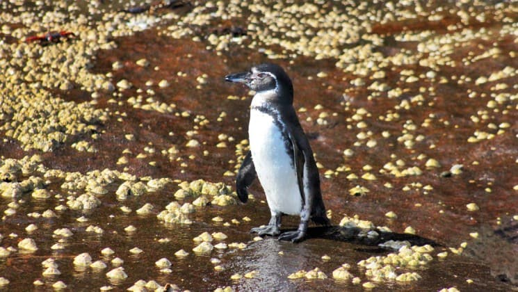 a penguin at the galapagos islands, during an excursion from the origin and theory cruise ships