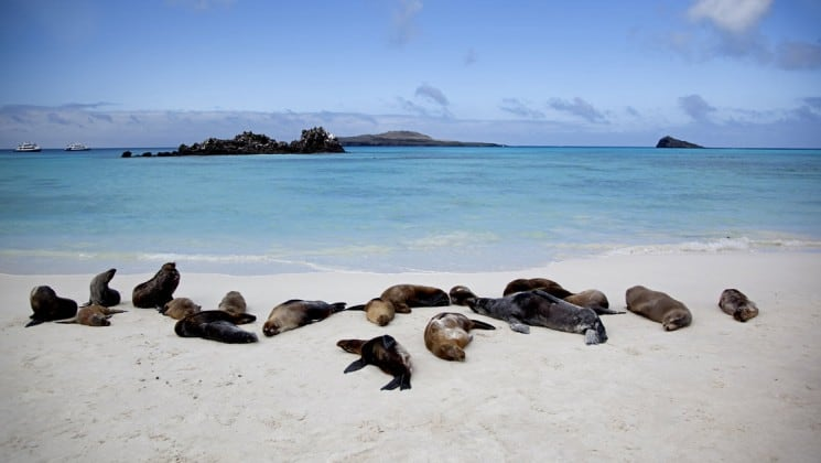 A group of seals sunbathe on a white sand beach next to the ocean at the galapagos islands