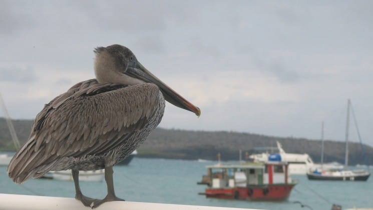 a pelican watches boats in Puerto ayora at the Galapagos islands