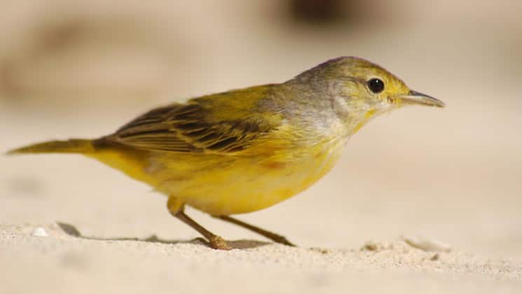 a yellow bird in the sand at santa fe island in the galapagos
