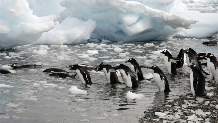 Penguins jump into the grey water with icebergs and floating ice in antarctica