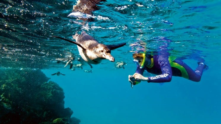 A snorkeler swims next to penguins at the Galapagos Islands, while traveling aboard the National Geographic Endeavor, a luxury cruise