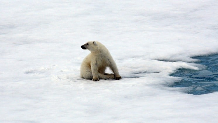 a polar bear looks over its shoulder as it sits on the ice near the north pole