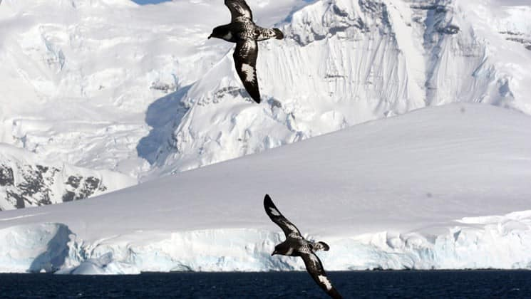 Two seabirds soar in the air with an iceberg in the distance, in antarctica, as seen from the polar circle air cruise