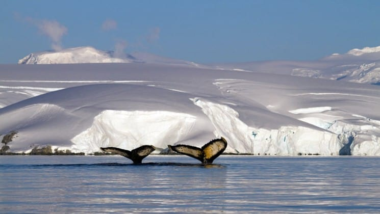 Two whales flip their tails above the water with an iceberg in the distance in antarctica, as part of the polar circle air cruise