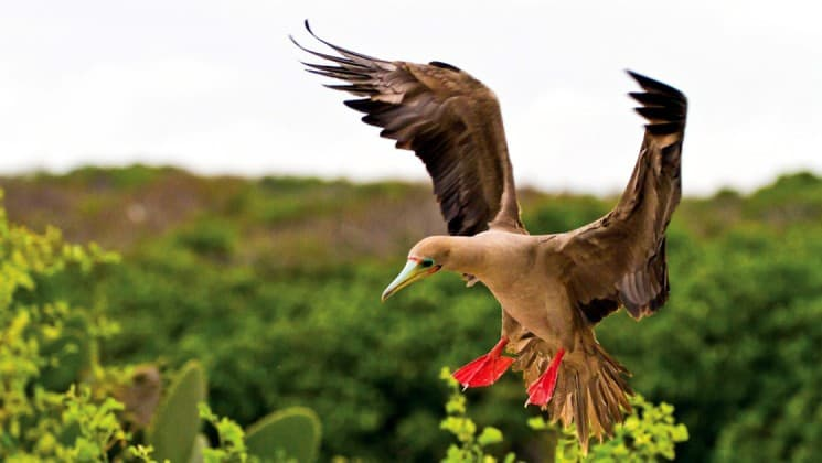 A red-footed booby flaps its wings to land on a branch amid green bushes at the Galapagos Islands.