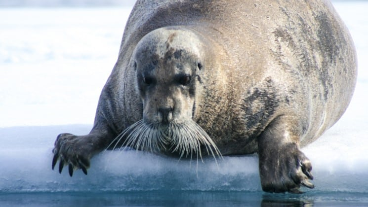 A bearded seal with whiskers slides across ice to the ocean in spitsbergen