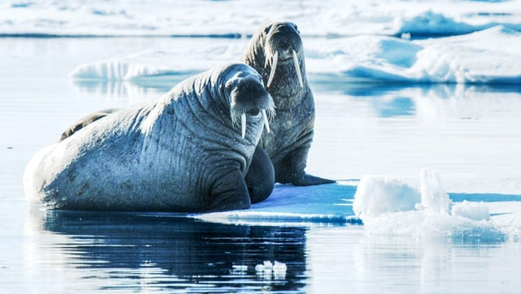 Two walruses sit on sea ice in the ocean in spitsbergen