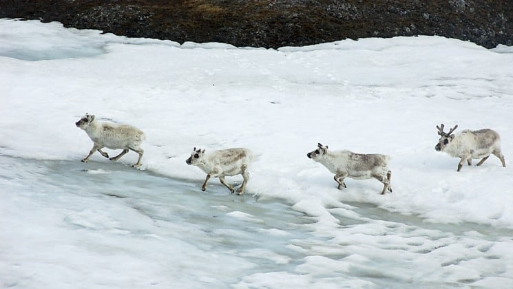 A group of white reindeer walk through ice and water in spitsbergen