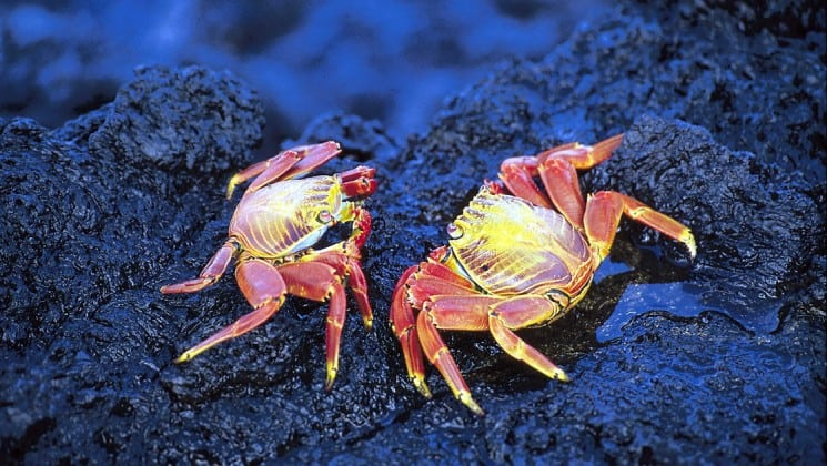 Two reddish-white sally lightfoot crabs scuttle in a reef at the Galapagos Islands