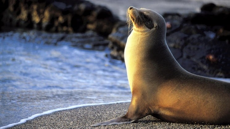 A seal raises its chest and its head to face the waves and the ocean at the Galapagos Islands