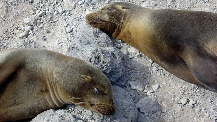 two sea lions lie in the sand at the Galapagos islands