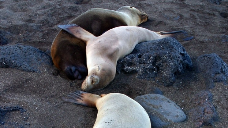 Sea lions lie down between rocks on a dark sand beach in the Galapagos Islands