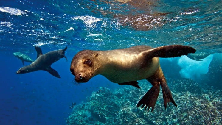 Sea lion pups swim in the clear, blue waters and the reef at the Galapagos Islands.