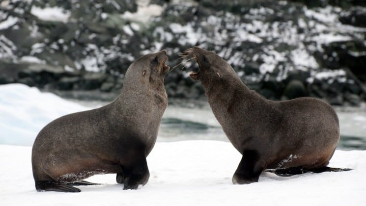 Two fur seals growl and interact with each other in the snow, as seen on an expedition to antarctica