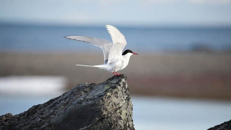An artic bird is about to take flight from a rock in spitsbergen svalbard