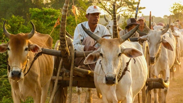 a man sits in a cart pulled by oxen as seen on a small ship cruise on the mekong river to vietnam and cambodia