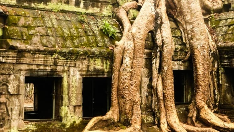 a large tree's roots overtake the ruins at ankor wat, a world heritage site in cambodia in Southeast Asia